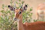Male impala headshot.jpg