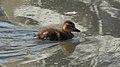 Mallard (Anas platyrhynchos) - Kitchener, Ontario.jpg
