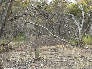 A large pile of bare earth stands amidst pale tree trunks, bleached grass and fallen sticks.
