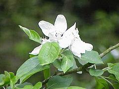 Jabłoń niska: zdjęcie