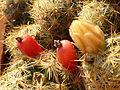 Mammillaria prolifera-.JPG
