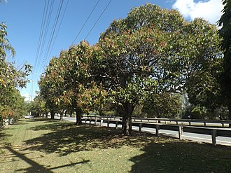 Anzac Avenue - Image: Mango Trees along Anzac Avenue at Mango Hill, Queensland