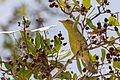 Mangrove Warbler - Canario de Mangle (Setophaga petechia) (16265271095) (2).jpg