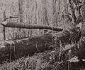 Manz sable-trap 1900s.jpg