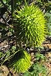 Marahmacrocarpus1