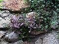 Marciana Alta - Mauerblümchen in der Via Appiani.jpg
