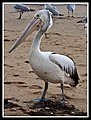 Margate Pelican Rescue- Hook Location-03 (6951244637).jpg