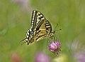 Mariposa rey 01 - papallona rei - papilio machaon (554176643).jpg