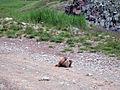 Marmots mating.jpg