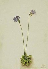 Purple Butterwort (Pinguicula elatior)