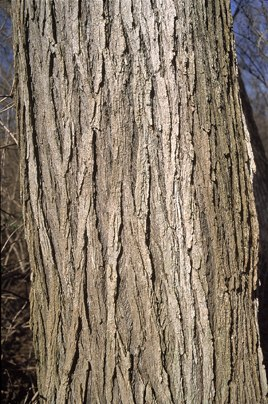Mature Ulmus rubra bark