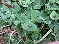 Medicago arabica leaf2 (10450263514).jpg