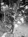 Medicinmannen Selimos son Teodolindo . fångar fisk med ett spetsat fiskspjut av chonta-palmträ - SMVK - 004010.tif