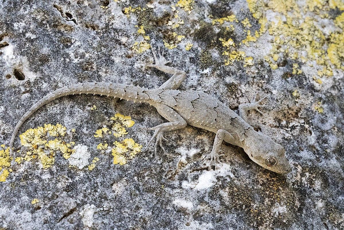 Mediodactylus kotschyi ciliciensis 02.jpg