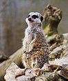 Meerkat, Belfast Zoo - geograph.org.uk - 1766177.jpg