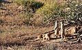 Meerkat (or suricate), Suricata suricatta, at Kgalagadi Transfrontier Park, Northern Cape, South Africa (35329021735).jpg