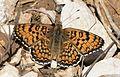 Melitaea phoebe - Benekli Büyük İparhan 01.jpg