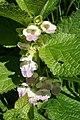 Melittis melissophyllum (48444382191).jpg