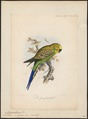 Melopsittacus undulatus - 1869-1876 - Print - Iconographia Zoologica - Special Collections University of Amsterdam - UBA01 IZ18500023.tif