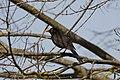 Melro-preto (Turdus merula) (49870208608).jpg