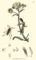 Metoecus paradoxus.PNG