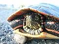 Midland painted turtle (Desbarats R) 2.JPG