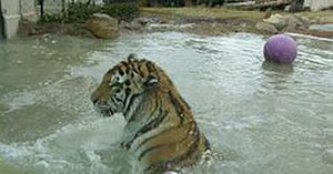 Mike the Tiger - Mike VI in water