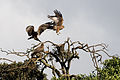 Milvus aegyptius, Simba Camp, Ngorongoro.jpg