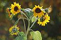 Mini Sunflowers (1569720031).jpg