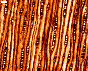 Miocene wood.jpg