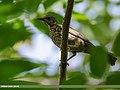 Mistle Thrush (Turdus viscivorus) (49217722822).jpg