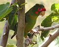 Mitred Parakeet, Inka Trail, Peru.jpg