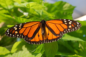 Wildlife of Bermuda - Monarch butterfly