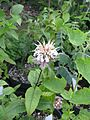 Monarda sp from Evolution - Flickr - peganum.jpg