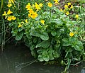 Monkeyflowers by the Oxford Canal, Warwickshire - geograph.org.uk - 1058231.jpg
