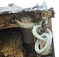 Monolithic chain in stone in Vaidyeshwara temple at Talakad.jpg
