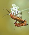 Monsters in love 10 - Rhagonycha fulva (530293873).jpg