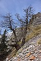 Mont Chetif - tree.jpg