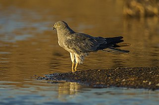 Montagus harrier migratory bird of prey of the harrier family