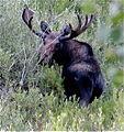 Moose Gould, Colorado USA.JPG