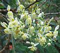 Moringa oleifera flowers.jpg