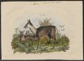 Moschus moschiferus - 1700-1880 - Print - Iconographia Zoologica - Special Collections University of Amsterdam - UBA01 IZ21500192.tif