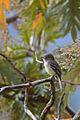 Mosquero Gris, Gray Flycatcher, Empidonax wrightii (16834583057).jpg