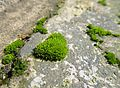 Moss-covered brick.JPG