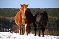 Mother and baby horse of Kandachime, -5 Feb. 2011 a.jpg