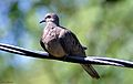 Mourning Dove DSCO2554.JPG