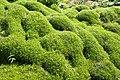Muehlenbeckia axillaris kz02.jpg