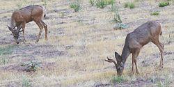 Mule Deer grazing in Zion National Park.