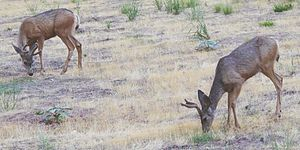 Mule deer - Mule deer grazing in Zion National Park