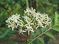 Murraya koenigii flowers at Peravoor (12).jpg